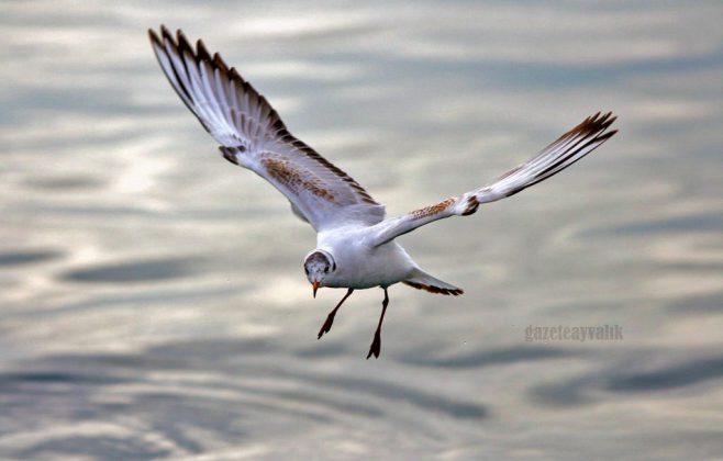 Tüm sulak alanlar ve deniz kıyılarında her mevsim görülen küçük bir martı türüdür.